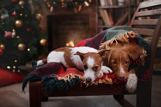 Jack Russell Terrier and Dog Nova Scotia Duck Tolling Retriever lie on chair with blanket in front of Christmas tree.