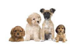 Group of puppy