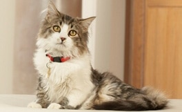 Long-haired white and gray cat in red collar sitting.